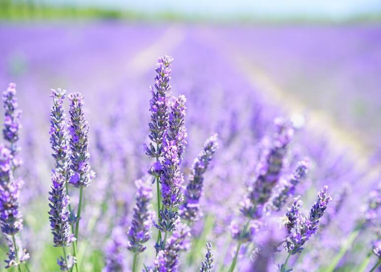 lavender-blossom-1595581_1280.jpg